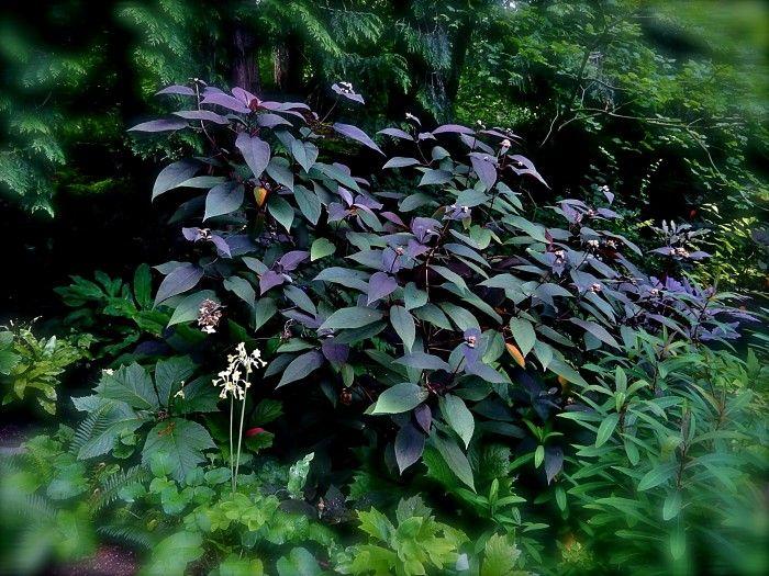 Hydrangea aspera 'Plum Passion'
