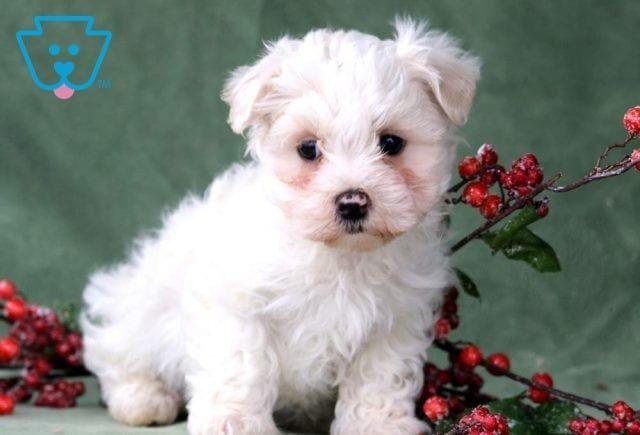 Cameron Maltese Toy Dog Breed Akc Toydogsforsale Maltese Puppies For Sale Maltese Puppy Puppies