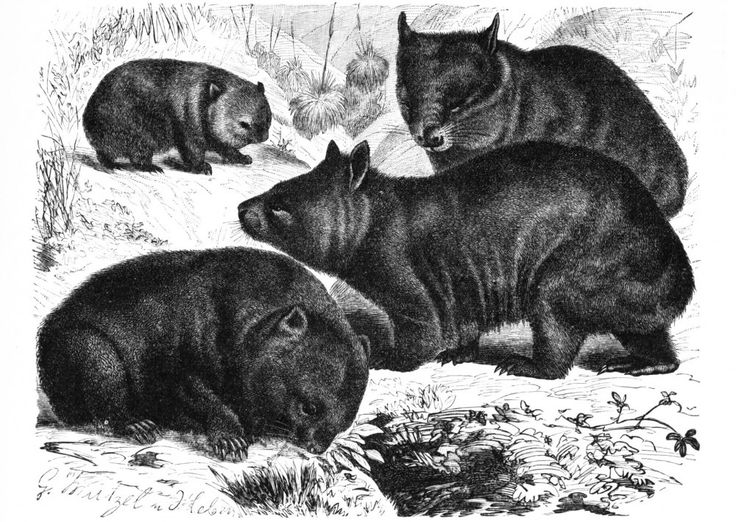 An old print of wombats.: Album Covers, Aussies Animal, Koalas Wombat, Wild Animals, Vintage Wardrobe, Fauna Wombat, Vintage Printable, Naturalist Illustrations, Drawing