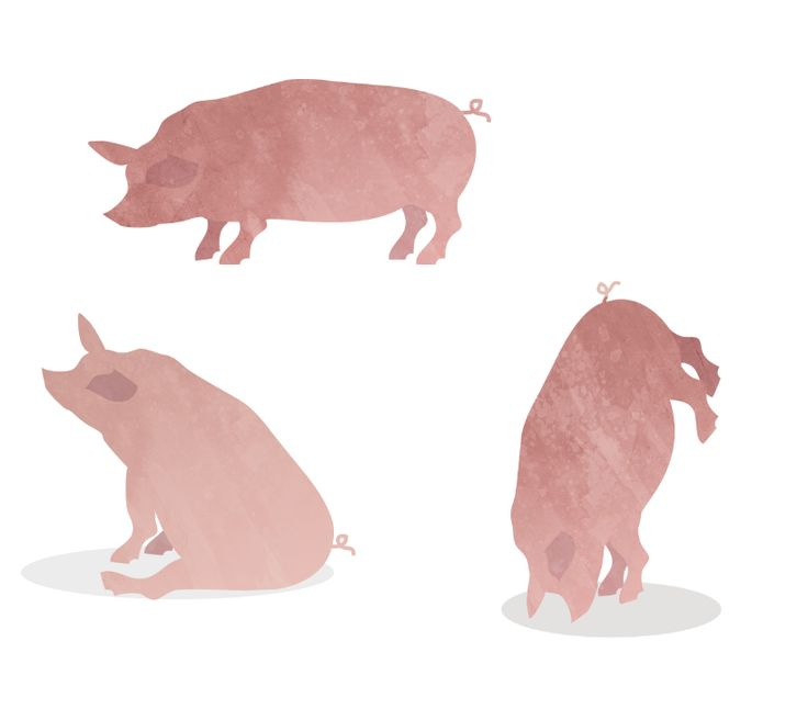 Pig Illustrations.