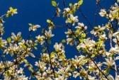 Florecimiento de las flores de magnolia en primavera stock photography