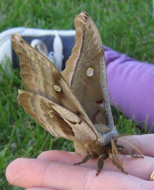 Brown Moth 2: Antheraea Polyphemus