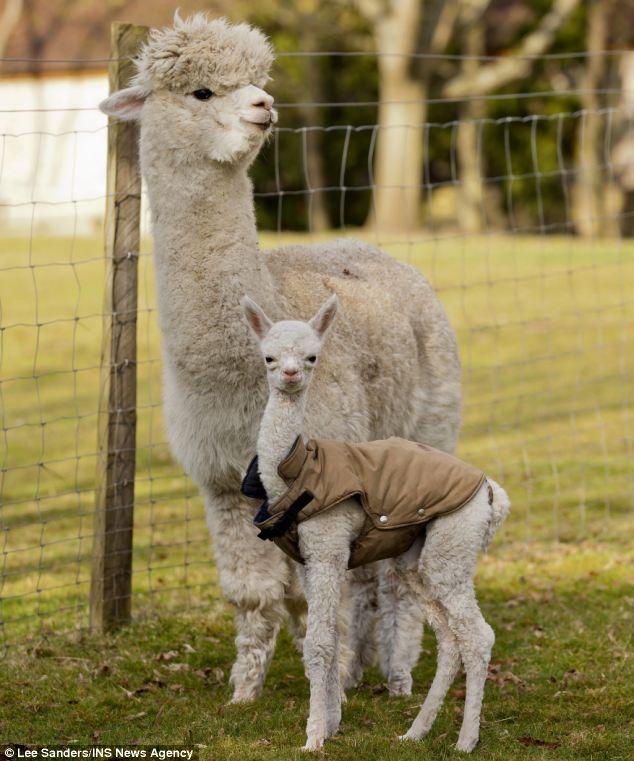 9 besten alpaca Bilder auf Pinterest | Alpakas ...