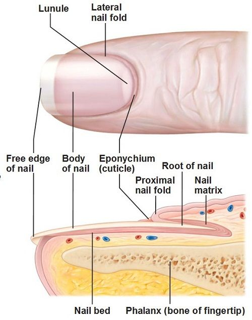 13 best images about Chapter 8: Structure of the Nails on Pinterest