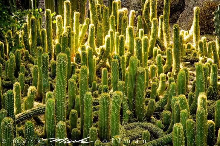 Cacti by Mark Hoffman.