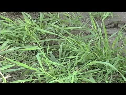 (181) Weed of the Week #581: Quackgrass (From Ag PhD #581 5/24/09) - YouTube