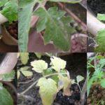 Fungicida Natural para Tomateiros