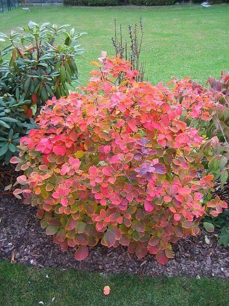 Federbuschstrauch Herbstfärbung