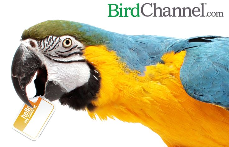 Need a name for your pet bird, or want to know if your pet bird's name makes the top 10? Check out this list of top 10 pet bird names, African grey parrot names, cockatiel names, conure names, macaw names, cockatoo names, lovebird names, Amazon parrot names and budgie names.