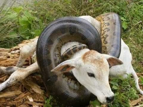 Anaconda gigante come vaca inteira no Brasil / Giant Anaconda Regurgitat...Anaconda gigante come vaca inteira no Brasil / Giant Anaconda Regurgitates A Whole COW In Brazi