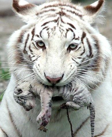 10 best images about White Tigress on Pinterest | Yulia tymoshenko ...