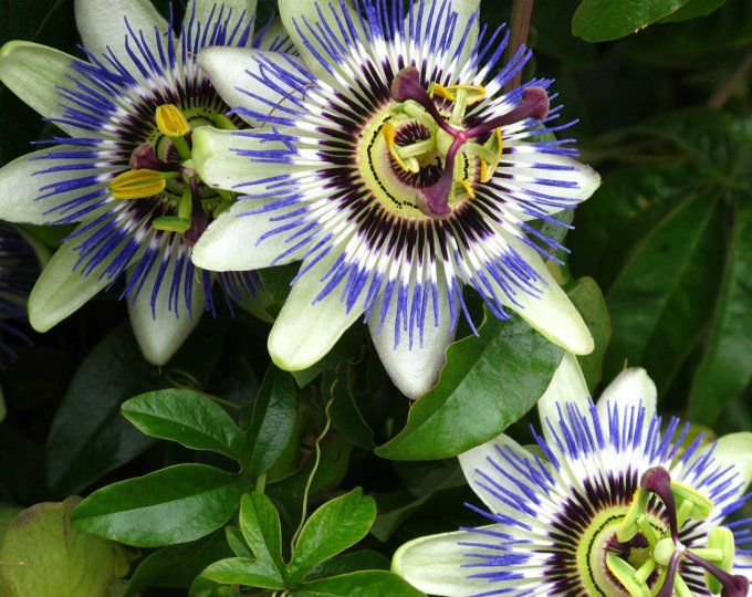 Medinilla Flower Seeds Rose Grape Tropical Beauty Rare Etsy Blue Passion Flower Passiflora Caerulea Passion Flower