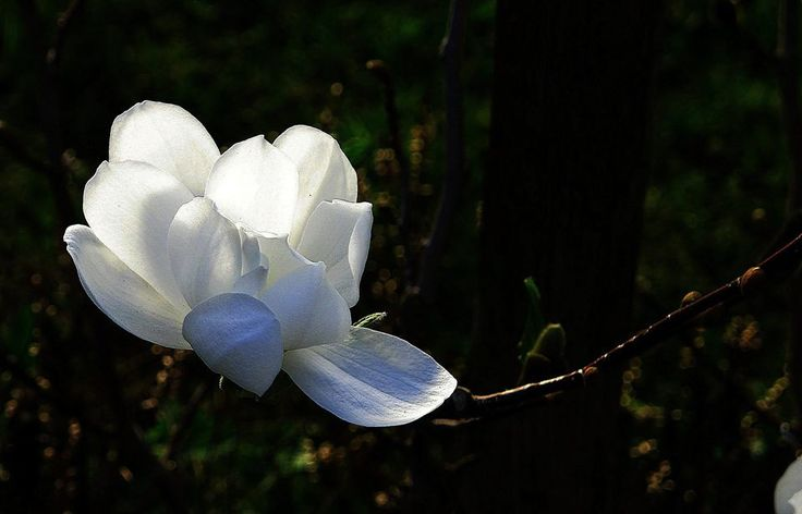 Photograph Magnolia In Snow White Poetry by Tess Margaux  on 500px
