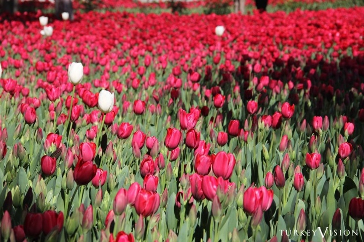 Tulips in the Courts of Topkapi Palace