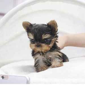 Micro teacup Yorkie puppy for sale $4500 2lbs tops