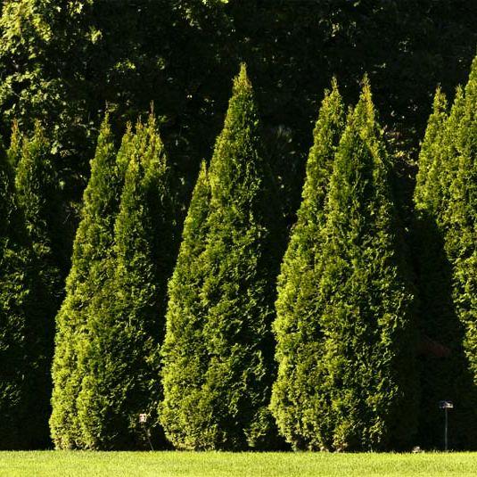 Туя – Шарм вашего сада  Любое вечнозеленое растение – это круглогодичное украшение на вашем участке, сегодня речь пойдет о туе. Вы узнаете, как правильно посадить это дерево, какой уход ему необходим и какой вид туи лучше выбрать .