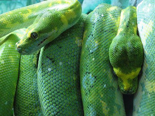 pretty!: Frogs Snakes, Snakes Diva, Rosalie S Snakes, Emerald Snakes, Green Snakes, Snakes Meta, Gorgeous Snakes, Animal