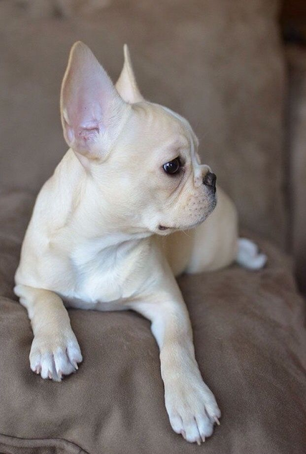 Personal Post My Puppy Josie Is 4 Months Old In 2020 Bulldog Puppies French Bulldog Puppies Fawn French Bulldog