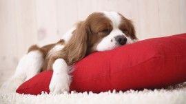 Filhote Dormindo - papel de parede para download