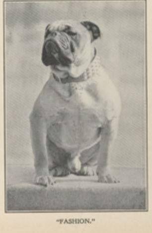 LAWSON'S FASHION~BULLDOG~CIRCA 1905