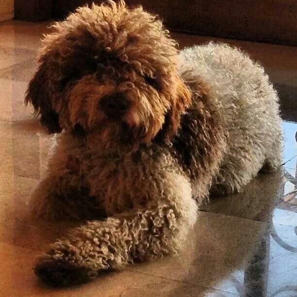 Lagotto Truffle Dogs: 33 Best Lagotto's Images On Pinterest