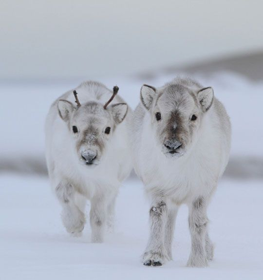 Winter Baby Reindeer