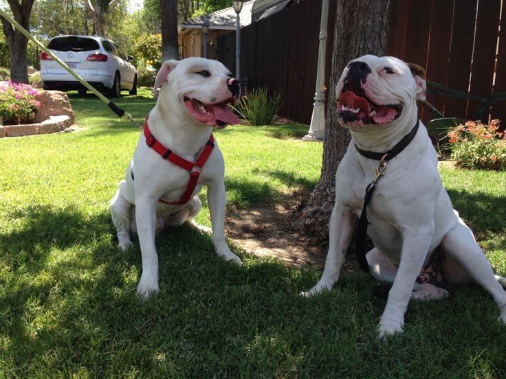 457 Best Dogs Images On Pinterest Pit Bull Dog Breeds