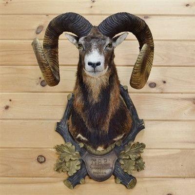 Mouflon Sheep Taxidermy For Sale - SW3174