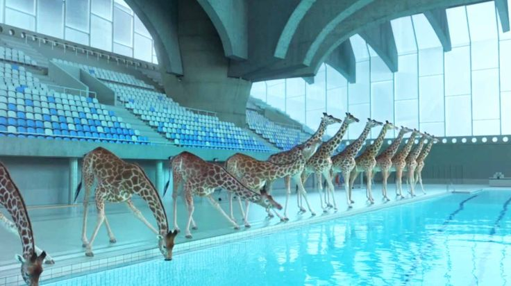 High Diving Giraffes Watch to the end!! :) if anyone LOVES Giraffes like I do this is a Must See video... It's Amazing.