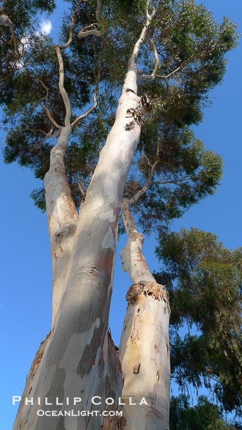 Eucalyptus tree, gum tree. Del Mar, California, USA