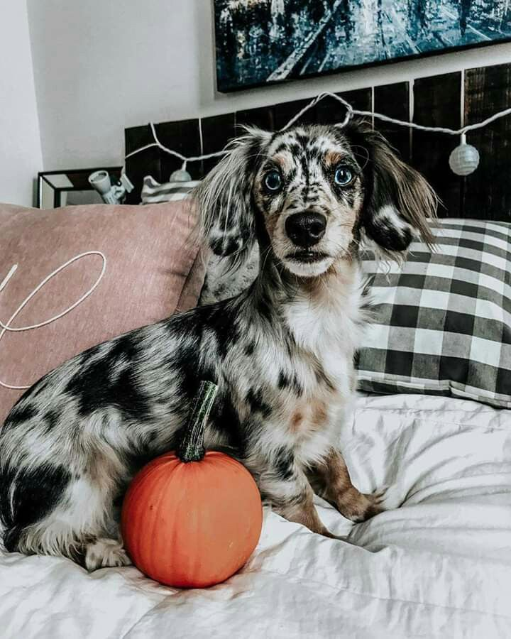 Pin By Patricia On Puppies Dapple Dachshund Hypoallergenic Dog