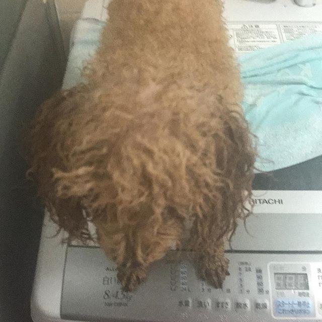久しぶりのお風呂に入ってリフレッシュふぉー(*//艸//)♡ #といぷーどるレッド #といぷーどる #といぷーどる部 #トイプードルお風呂#もふもふ#愛犬