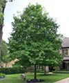 Fast growing shade trees for Houston