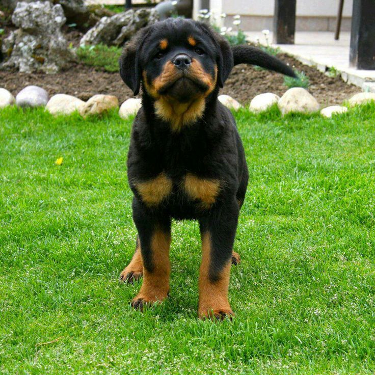 Best 25+ Baby rottweiler ideas on Pinterest | Pictures of ...