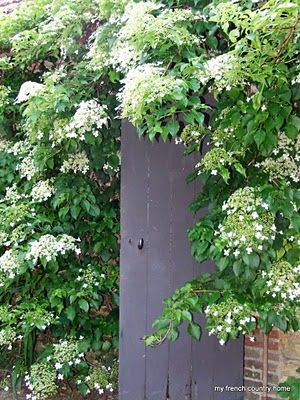 Climbing Hydrangea!--I planted one of these 2 summers ago, it has finally started to climb, can't wait til it is tall and blooms!