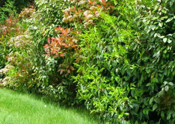 Ber ideen zu haie persistant auf pinterest for Arbustes de jardin