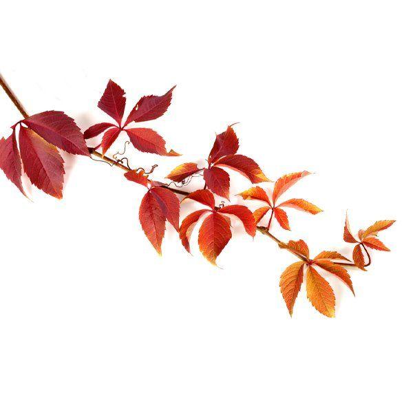 Winobluszcz - Parthenocissus quinquefolia