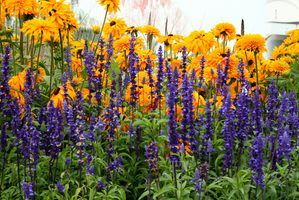 Tall and Full Sun Perennials thumbnail