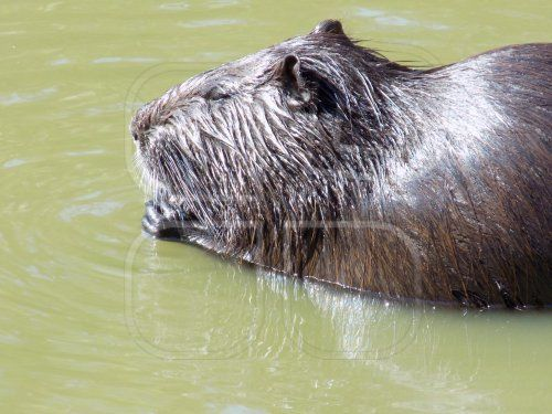 Sweet beaver in the water.