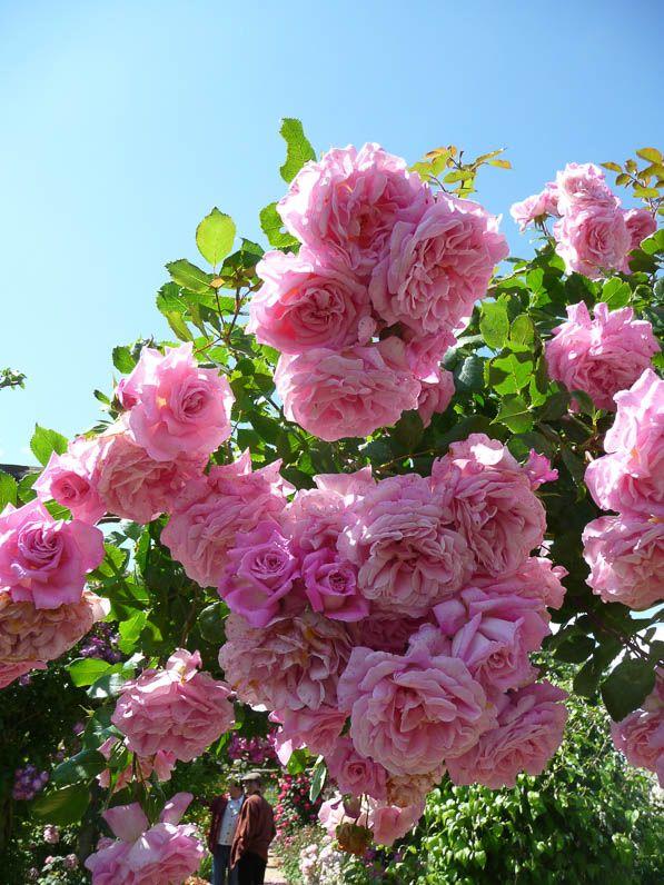 Les 48 meilleures images du tableau roses sur Pinterest   Roses de ...