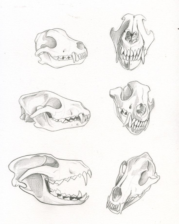 Wolf skeleton study - Our Brother Wolf