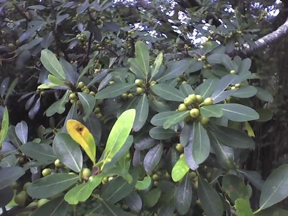 Ficus natalensis - Wikiwand