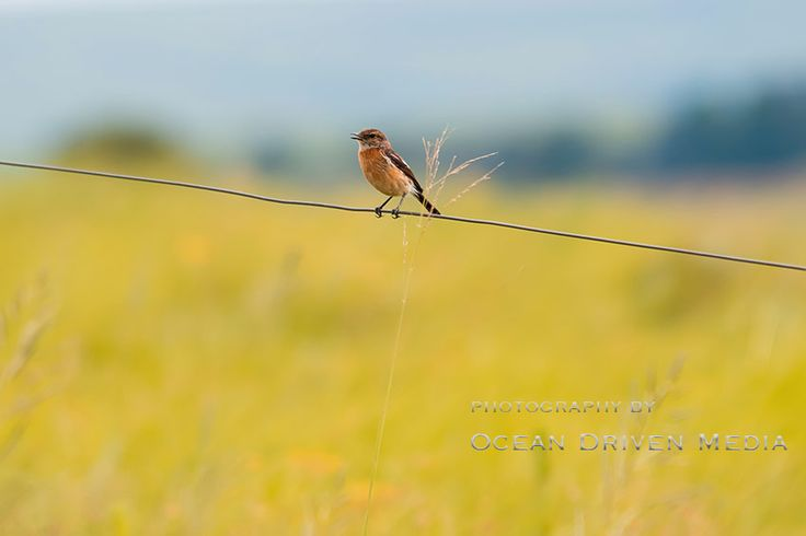 Bird sitting on a fence with yellow grass in background