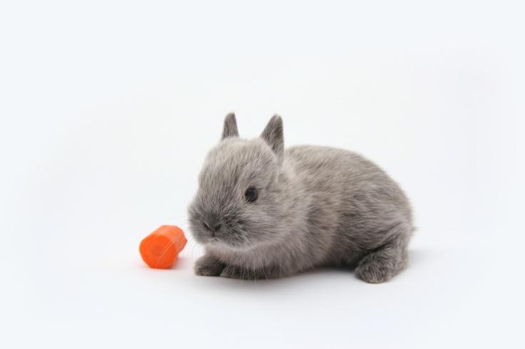 My Netherland Dwarf Bunny