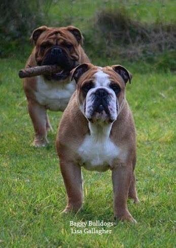 HOW CUTE are these Bulldogs?!?!?!