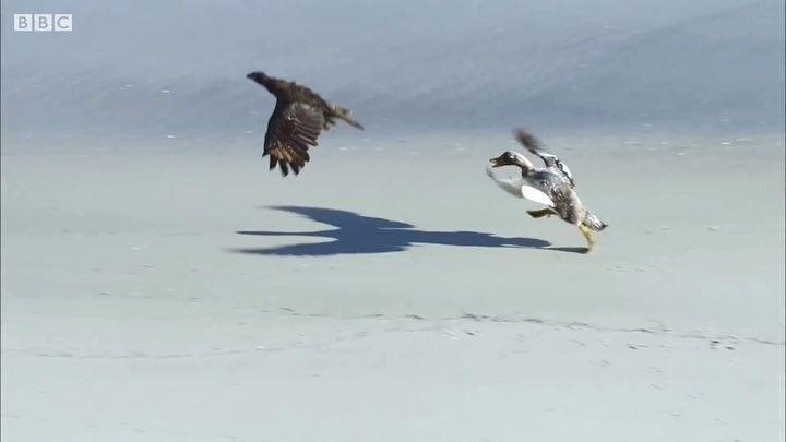 Badr Scarface On Instagram بط الباخرة ينقذ صغير البطريق الصخري من طيور الكاراكارا المفترسة من روائع قناة بي بي سي Steamer D Bald Eagle Animals Eagle