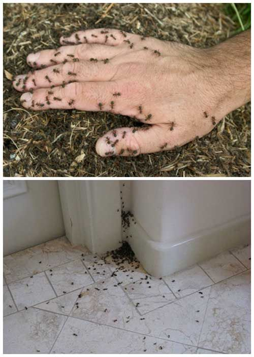 Natural Ways To Kill Ants For Good - I have tried all 10 and all seem to work. Some take longer than others and depending on what type of ant you are actually dealing with