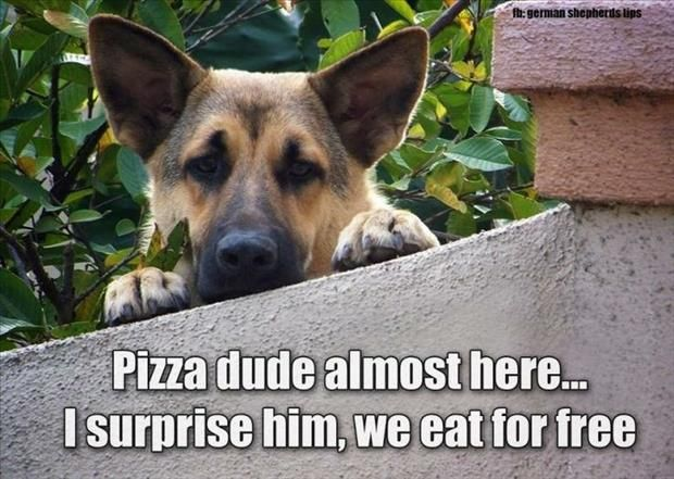 """""""Pizza dude almost here . . . I surprise him, we eat for free!"""" - Dogs Think They're So Funny - 35 Pics (If we only knew what animals were thinking!)   from dumpaday.com"""