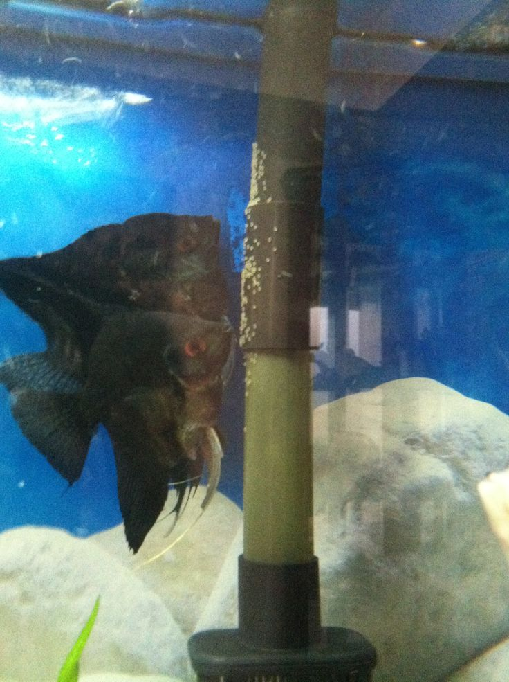 ... about Fish for my tank on Pinterest | Angelfish, Plecostomus and Fish Guppy Fish Eggs In Tank