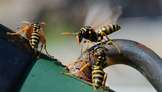 How to get rid of wasps naturally. Such cool looking guys, but scare the hell out of me because they can bite/sting several times. beware of accidentally killing bees!!